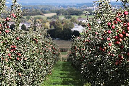 Грамотный выбор и посадка саженцев плодовых деревьев