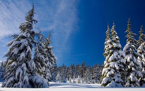 снежные зима и ели в снегу на снежном поле
